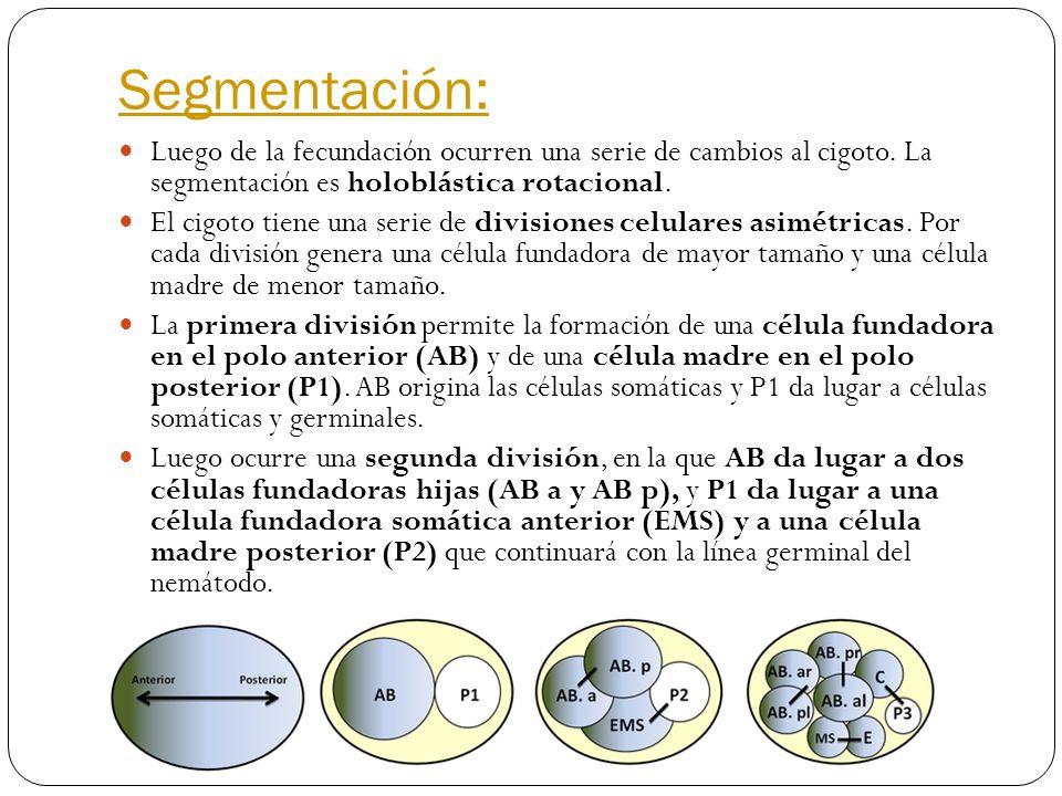 Segmentación: Luego de la fecundación ocurren una serie de cambios al cigoto. La segmentación es holoblástica rotacional.