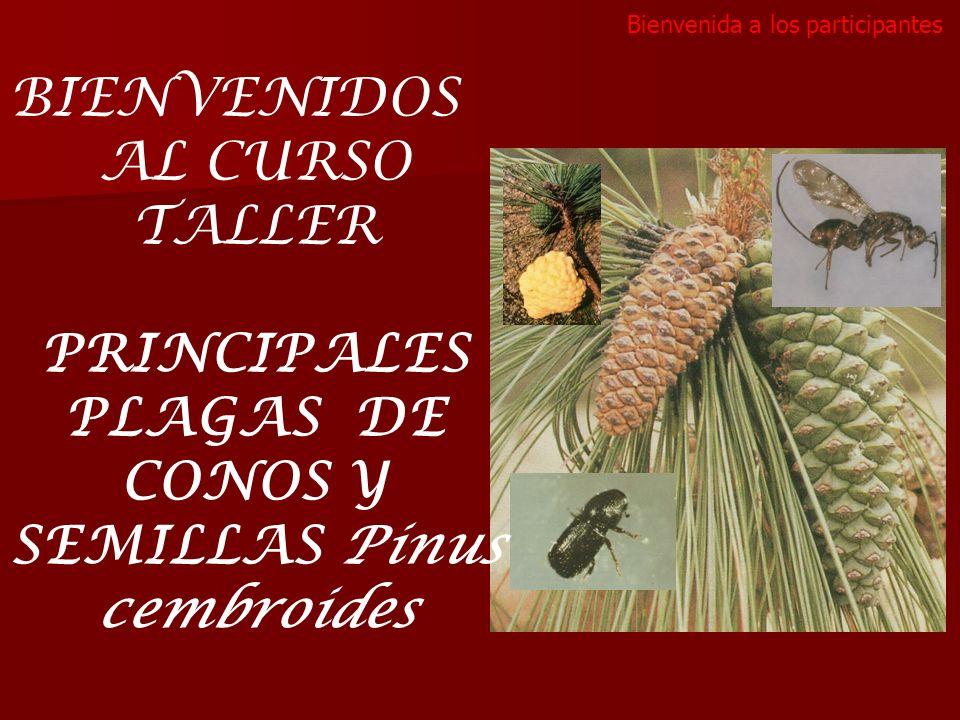 PRINCIPALES PLAGAS DE CONOS Y SEMILLAS Pinus cembroides