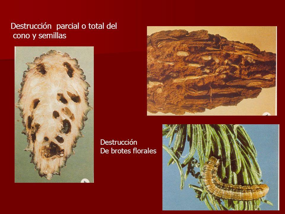 Destrucción parcial o total del cono y semillas