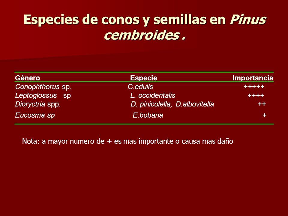 Especies de conos y semillas en Pinus cembroides .