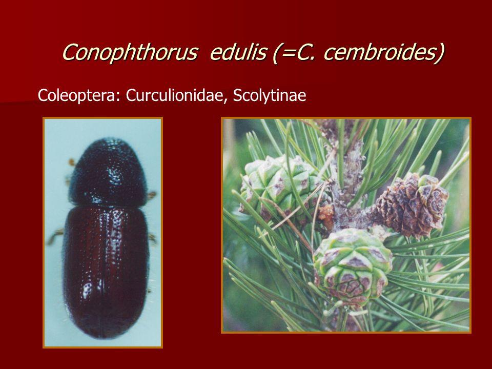 Conophthorus edulis (=C. cembroides)