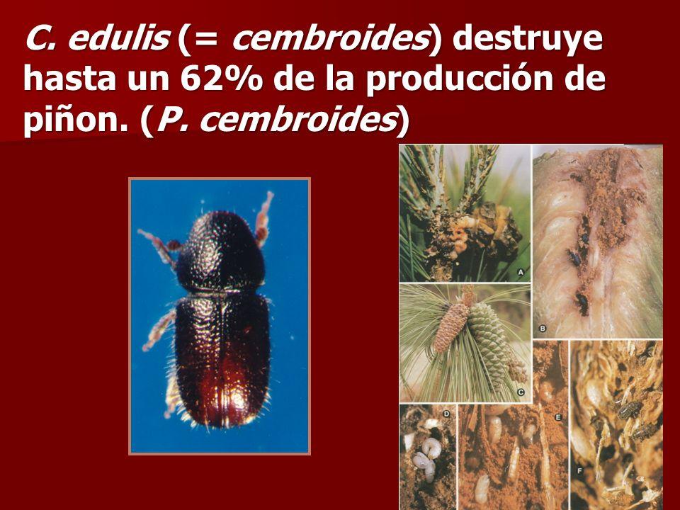 C. edulis (= cembroides) destruye hasta un 62% de la producción de piñon. (P. cembroides)