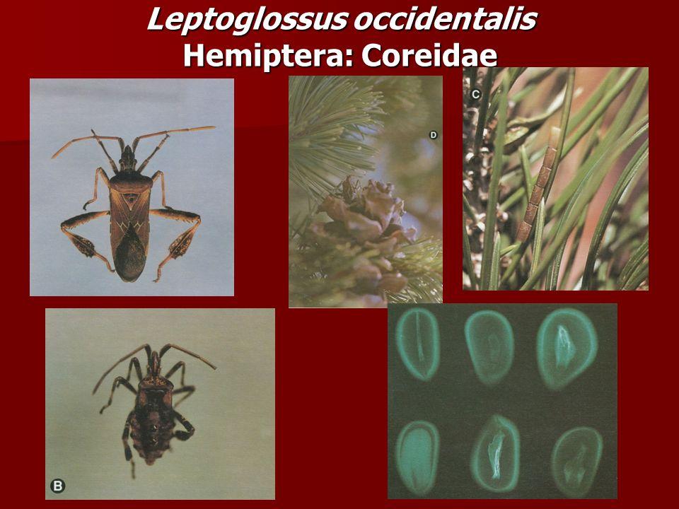 Leptoglossus occidentalis Hemiptera: Coreidae