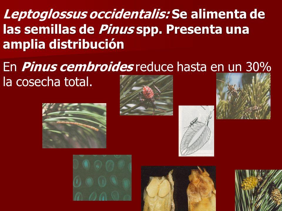 Leptoglossus occidentalis: Se alimenta de las semillas de Pinus spp