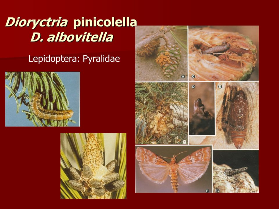 Dioryctria pinicolella D. albovitella