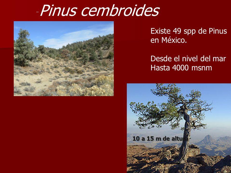 Existe 49 spp de Pinus en México. Desde el nivel del mar
