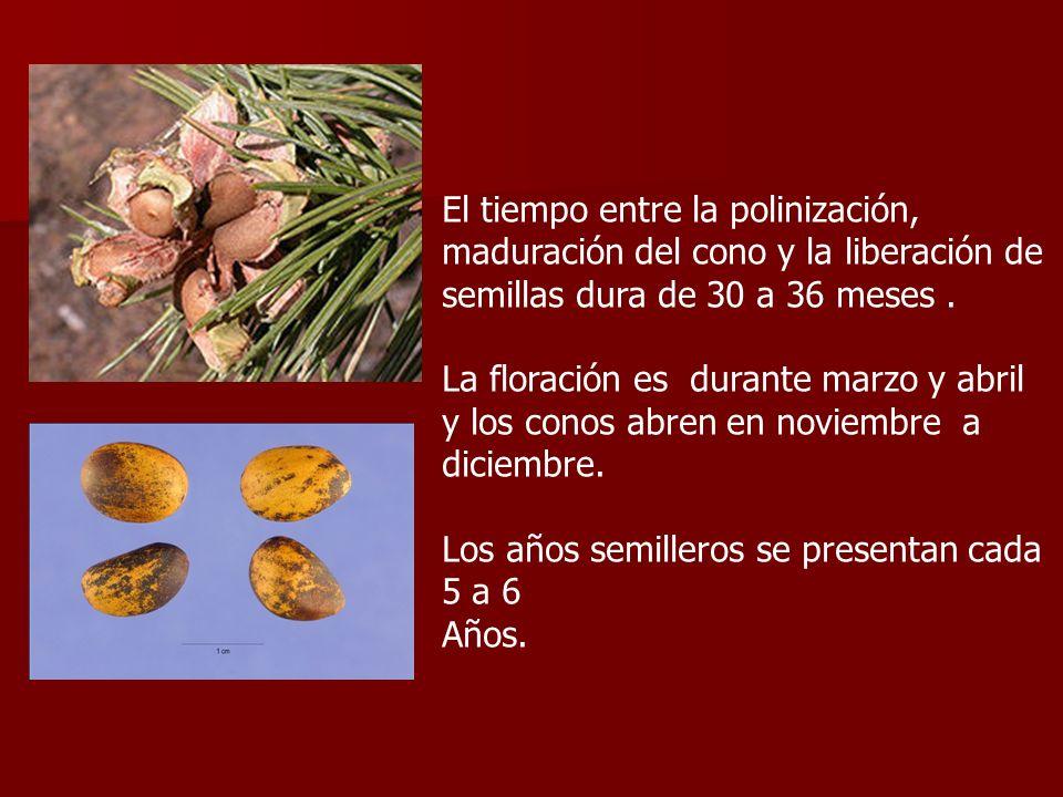 El tiempo entre la polinización, maduración del cono y la liberación de semillas dura de 30 a 36 meses .