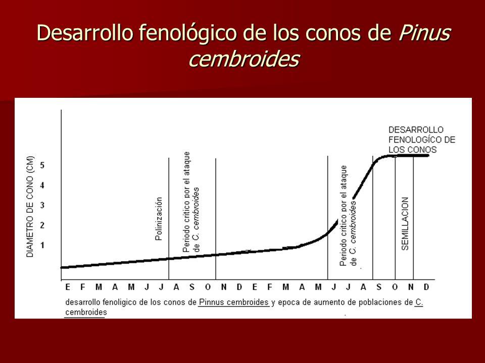 Desarrollo fenológico de los conos de Pinus cembroides