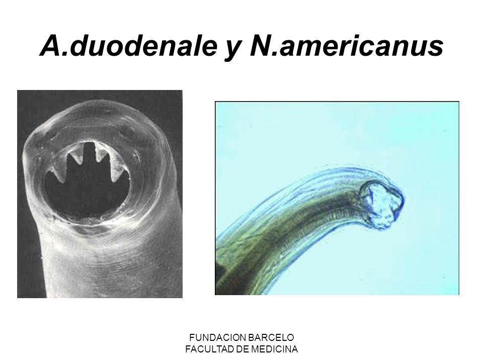 A.duodenale y N.americanus