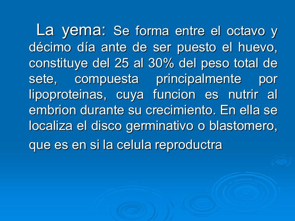 La yema: Se forma entre el octavo y décimo día ante de ser puesto el huevo, constituye del 25 al 30% del peso total de sete, compuesta principalmente por lipoproteinas, cuya funcion es nutrir al embrion durante su crecimiento.