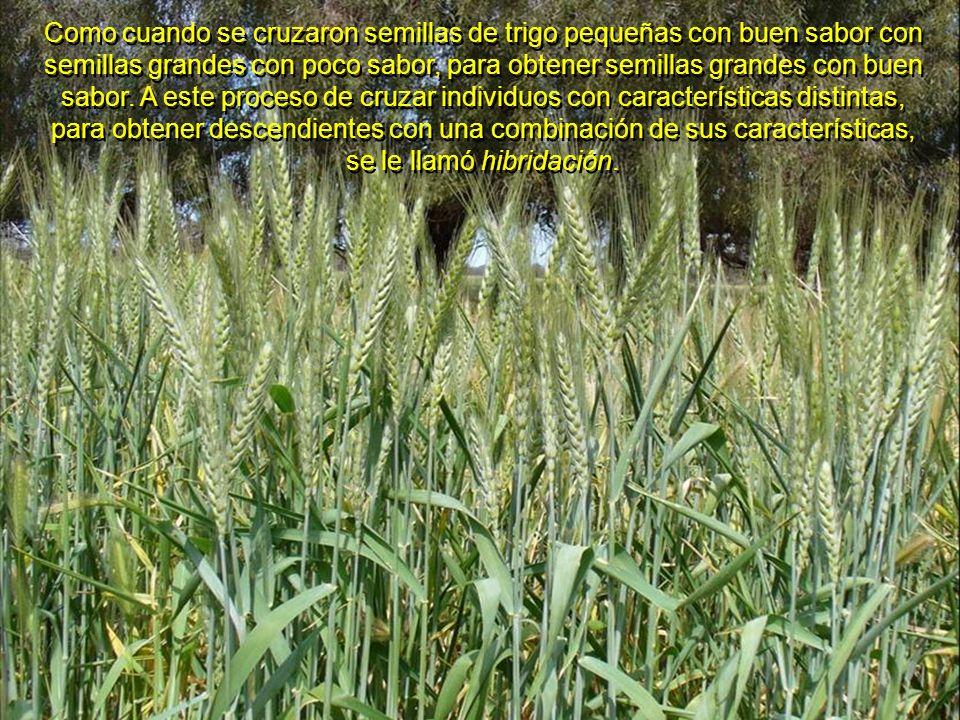 Como cuando se cruzaron semillas de trigo pequeñas con buen sabor con semillas grandes con poco sabor, para obtener semillas grandes con buen sabor.