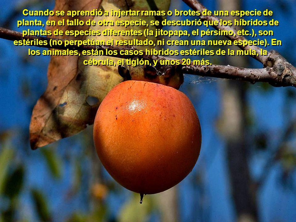Cuando se aprendió a injertar ramas o brotes de una especie de planta, en el tallo de otra especie, se descubrió que los híbridos de plantas de especies diferentes (la jitopapa, el pérsimo, etc.), son estériles (no perpetúan el resultado, ni crean una nueva especie).