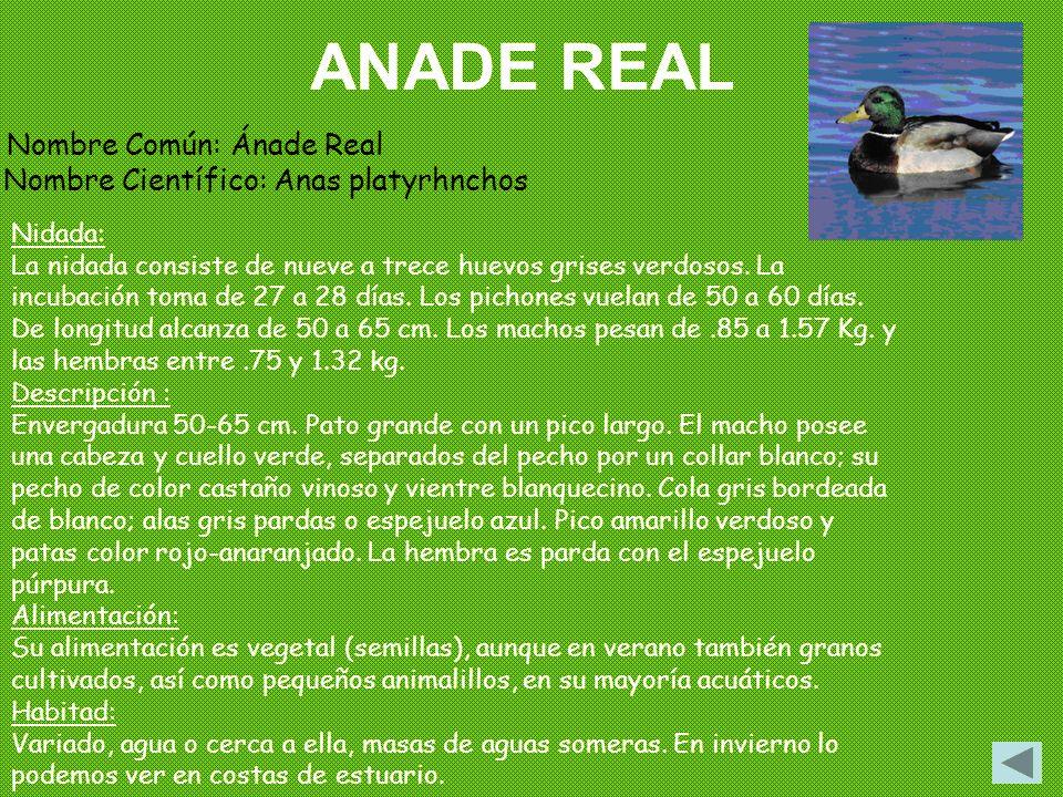 ANADE REAL Nombre Común: Ánade Real