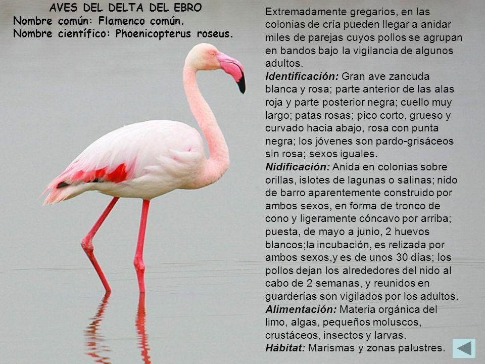 AVES DEL DELTA DEL EBRO Nombre común: Flamenco común. Nombre científico: Phoenicopterus roseus.