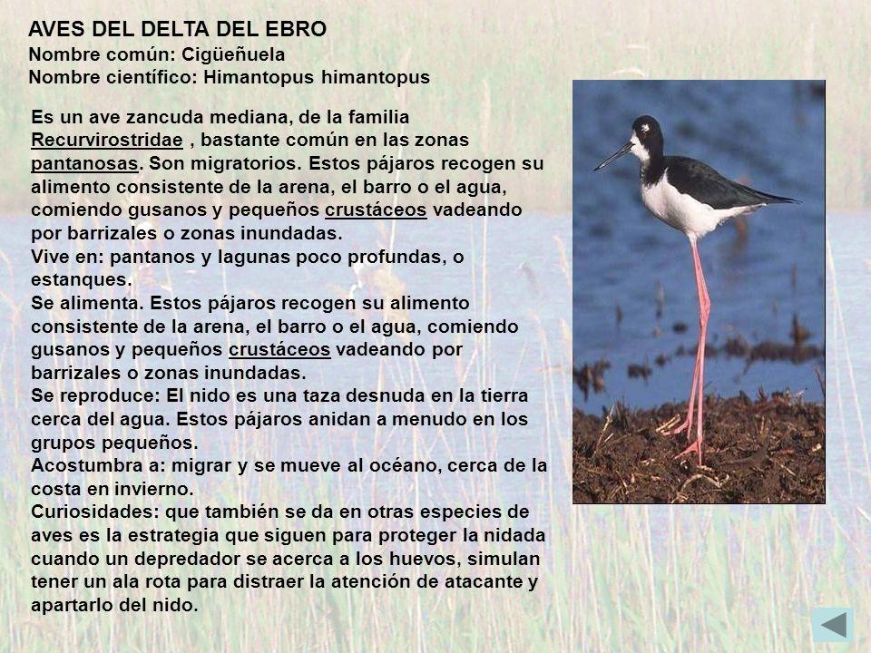 AVES DEL DELTA DEL EBRO Nombre común: Cigüeñuela