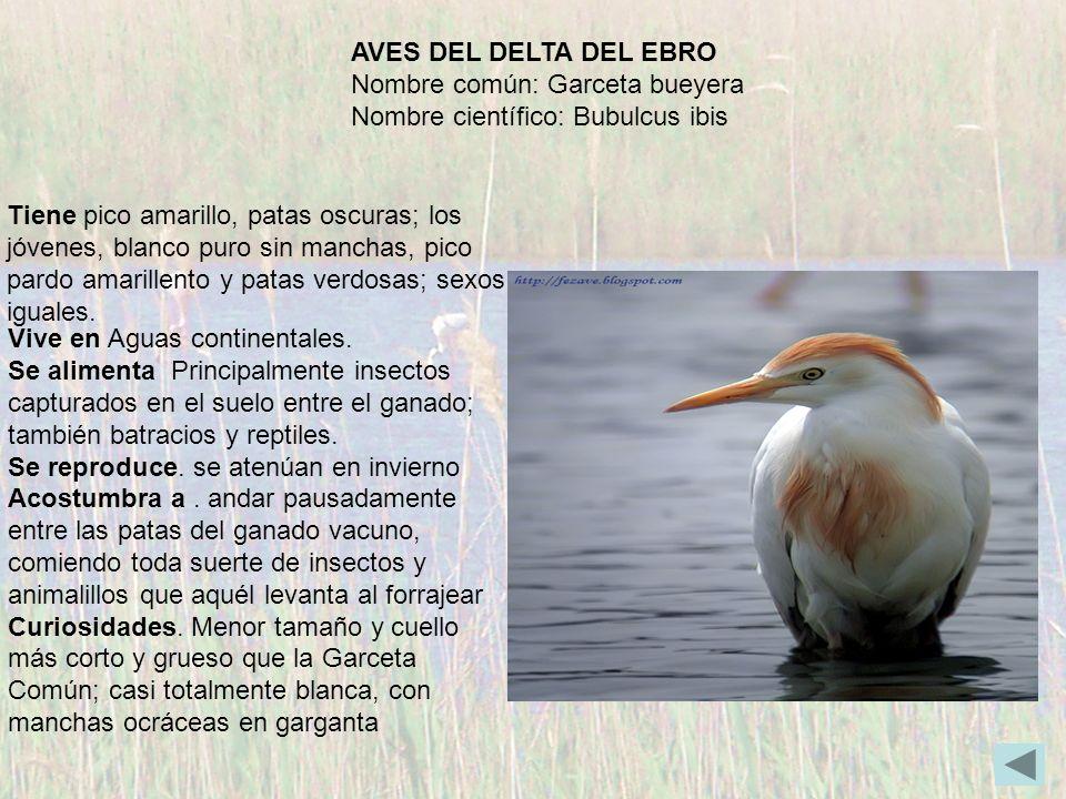 AVES DEL DELTA DEL EBRO Nombre común: Garceta bueyera. Nombre científico: Bubulcus ibis.