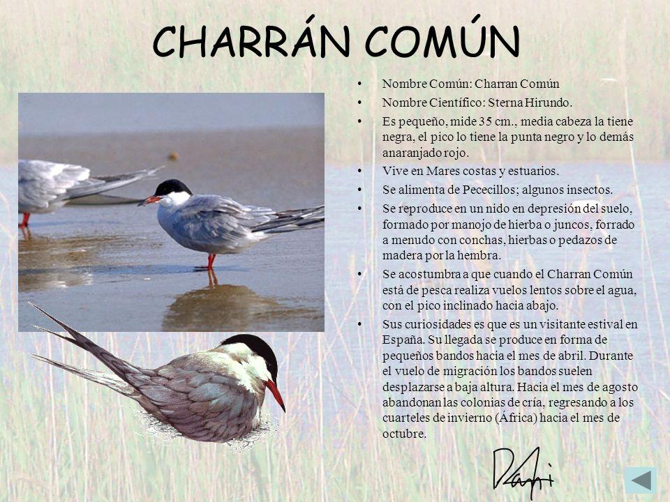 CHARRÁN COMÚN Nombre Común: Charran Común