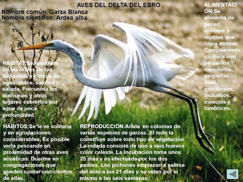 Nombre común: Garza Blanca Nombre científico: Ardea alba