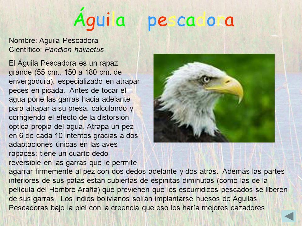 Águila pescadora Nombre: Aguila Pescadora Científico: Pandion haliaetus.