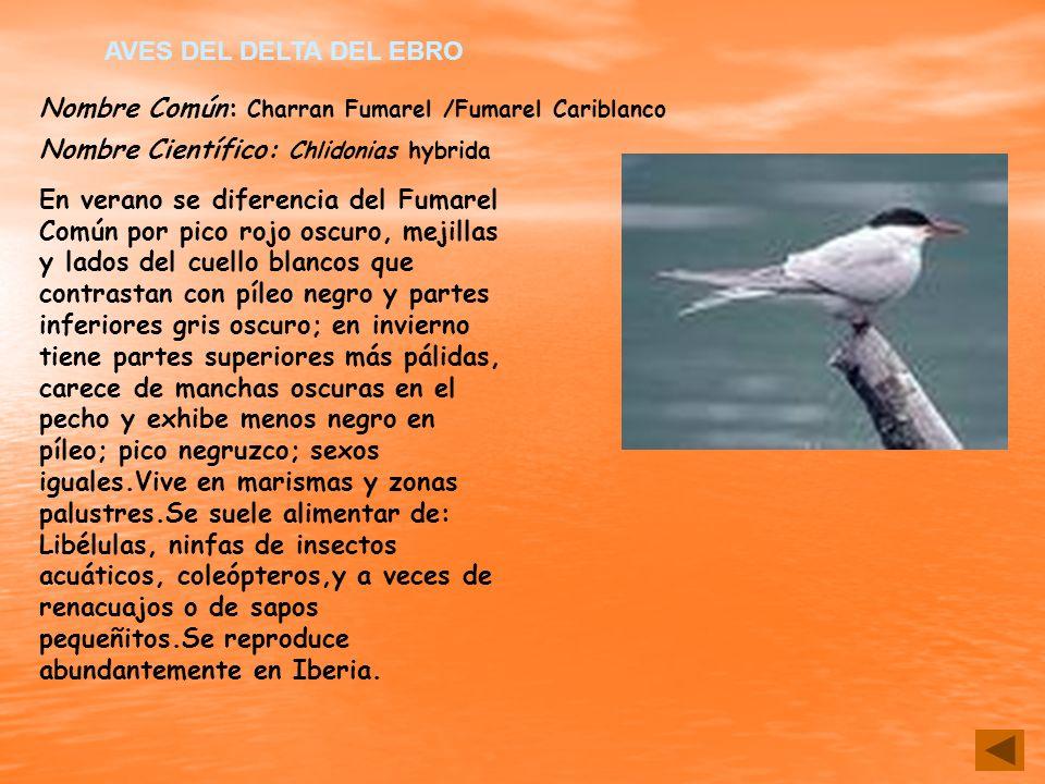 AVES DEL DELTA DEL EBRO Nombre Común: Charran Fumarel /Fumarel Cariblanco. Nombre Científico: Chlidonias hybrida.