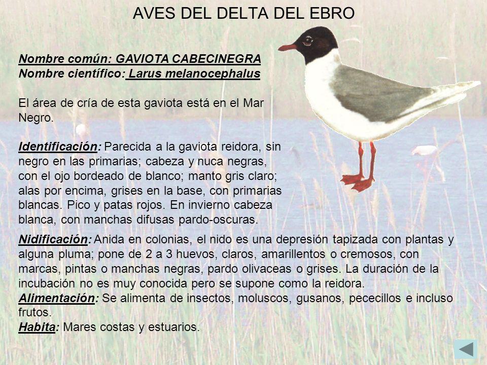 AVES DEL DELTA DEL EBRO Nombre común: GAVIOTA CABECINEGRA