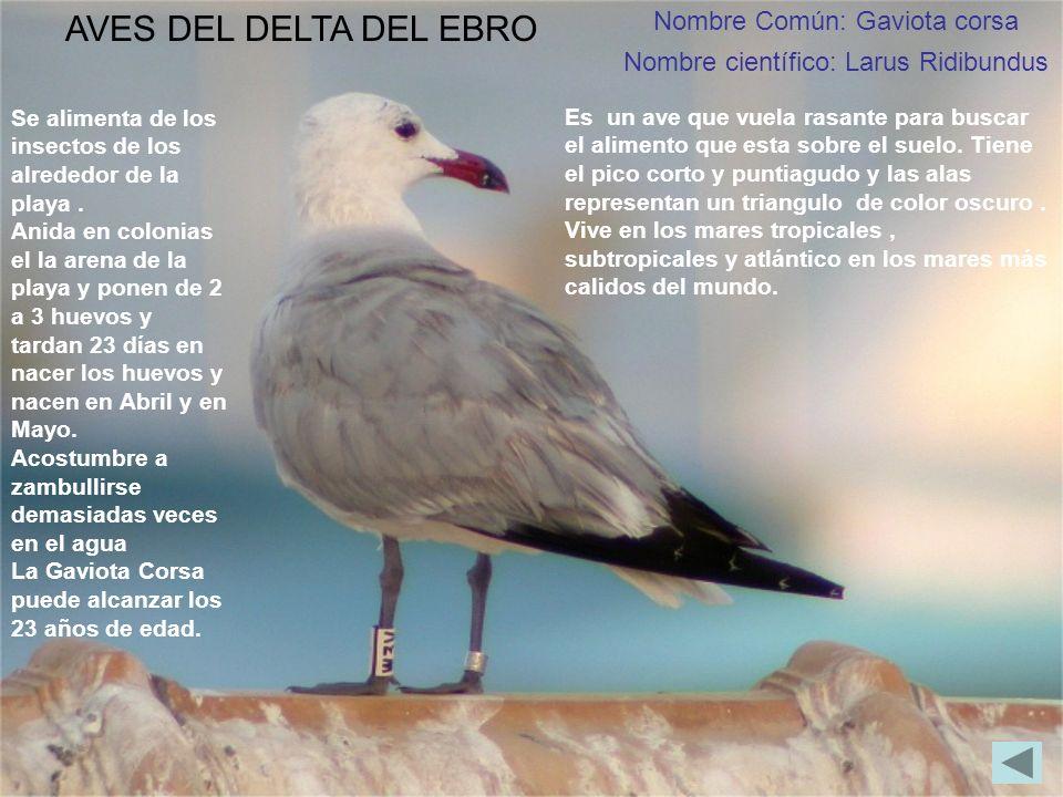Nombre Común: Gaviota corsa Nombre científico: Larus Ridibundus