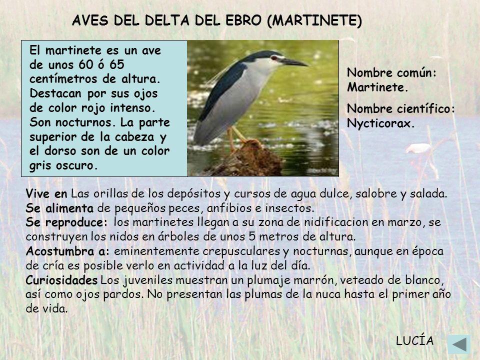 AVES DEL DELTA DEL EBRO (MARTINETE)