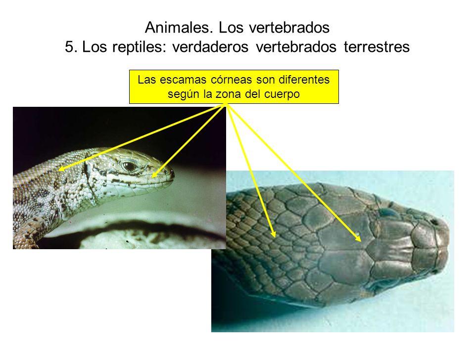 Las escamas córneas son diferentes según la zona del cuerpo