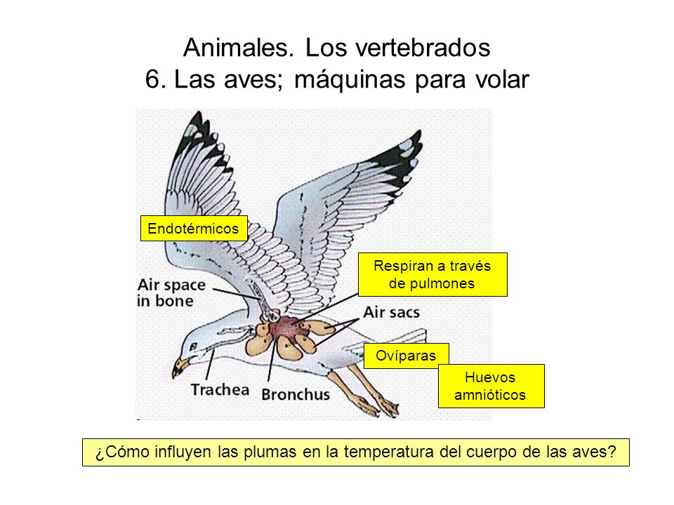 Animales. Los vertebrados 6. Las aves; máquinas para volar