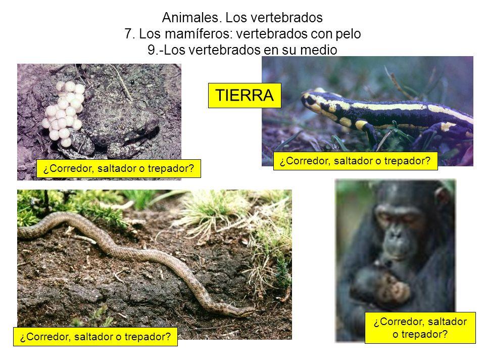 Animales. Los vertebrados 7. Los mamíferos: vertebrados con pelo 9