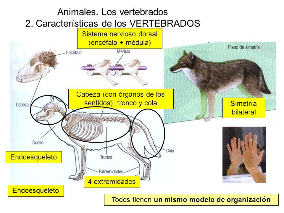 Animales. Los vertebrados 2. Características de los VERTEBRADOS