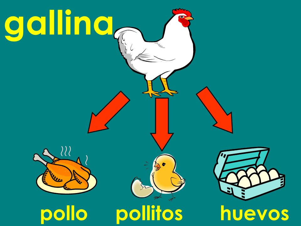 gallina pollo pollitos huevos