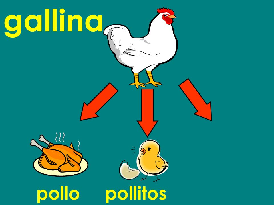 gallina pollo pollitos
