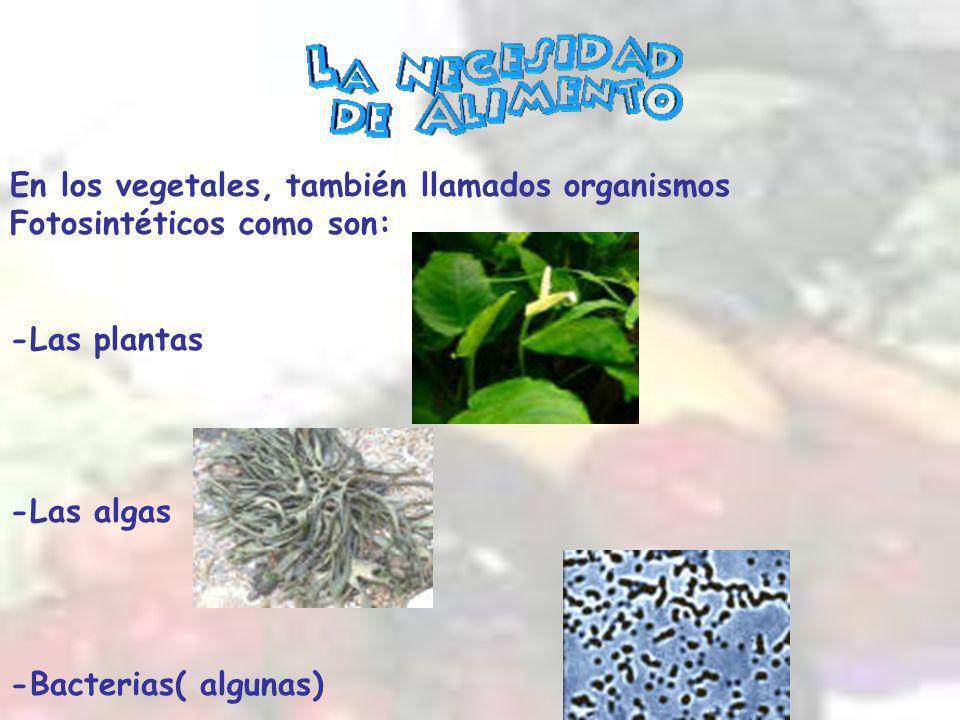 En los vegetales, también llamados organismos Fotosintéticos como son: