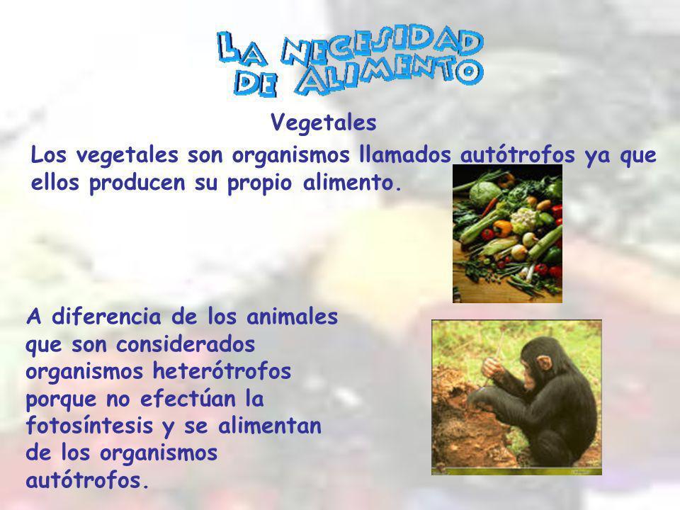 Vegetales Los vegetales son organismos llamados autótrofos ya que ellos producen su propio alimento.