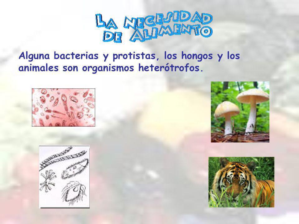 Alguna bacterias y protistas, los hongos y los