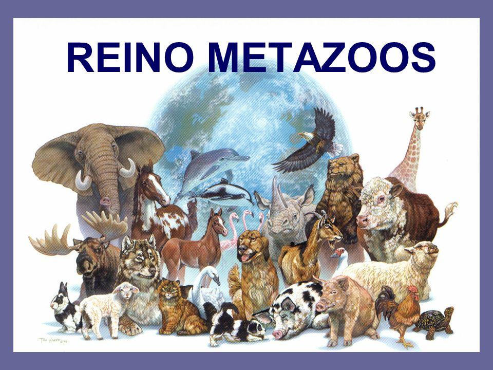 REINO METAZOOS