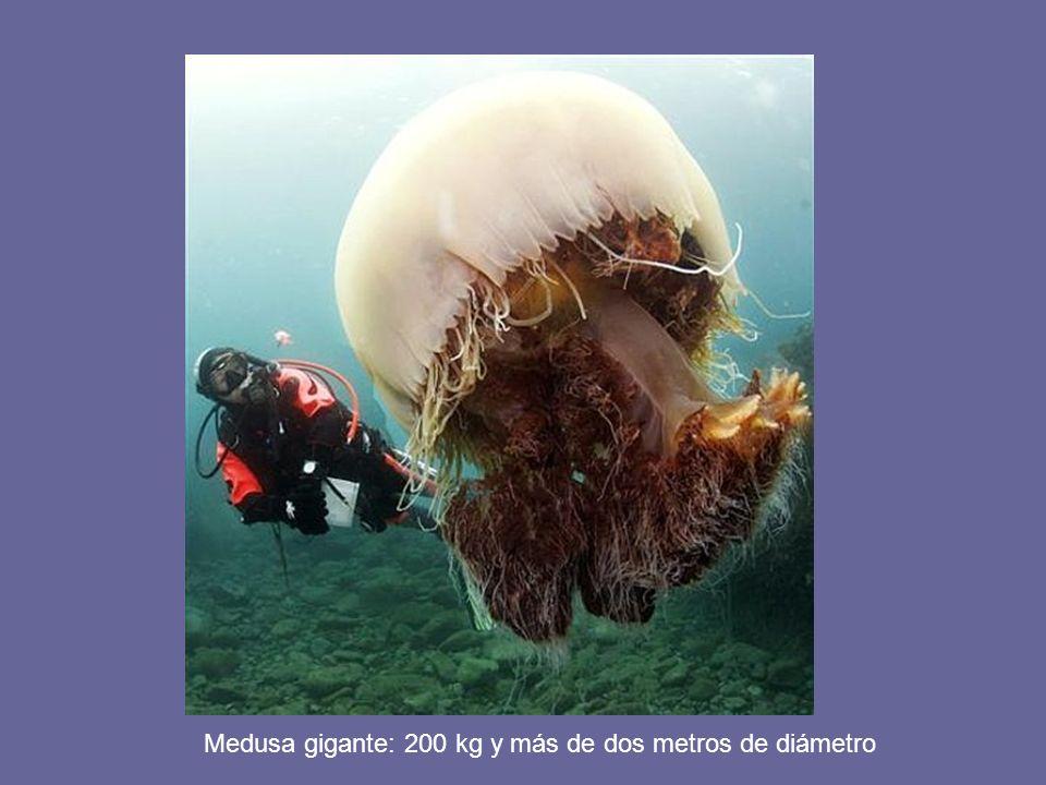 Medusa gigante: 200 kg y más de dos metros de diámetro