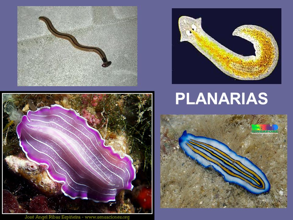 PLANARIAS