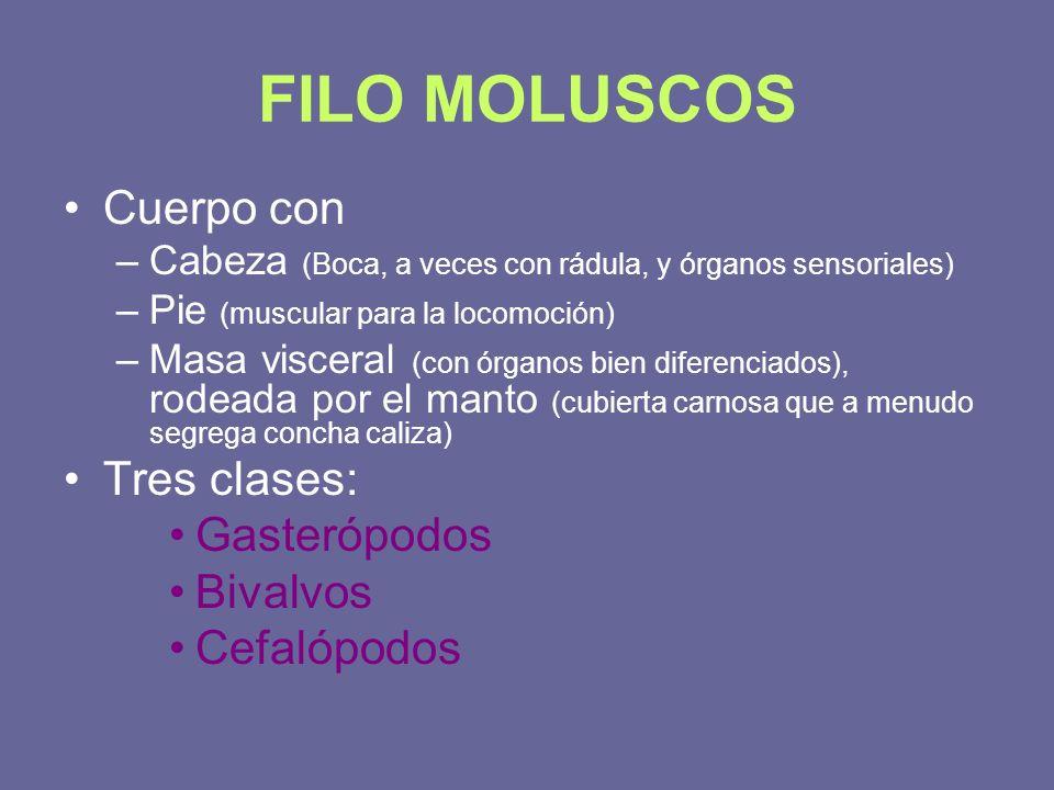 FILO MOLUSCOS Cuerpo con Tres clases: Gasterópodos Bivalvos