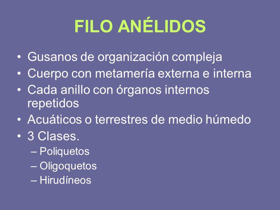 FILO ANÉLIDOS Gusanos de organización compleja