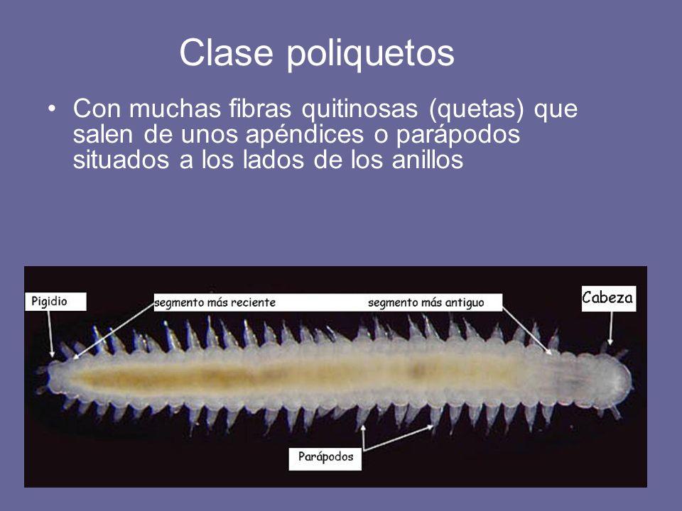 Clase poliquetos Con muchas fibras quitinosas (quetas) que salen de unos apéndices o parápodos situados a los lados de los anillos.