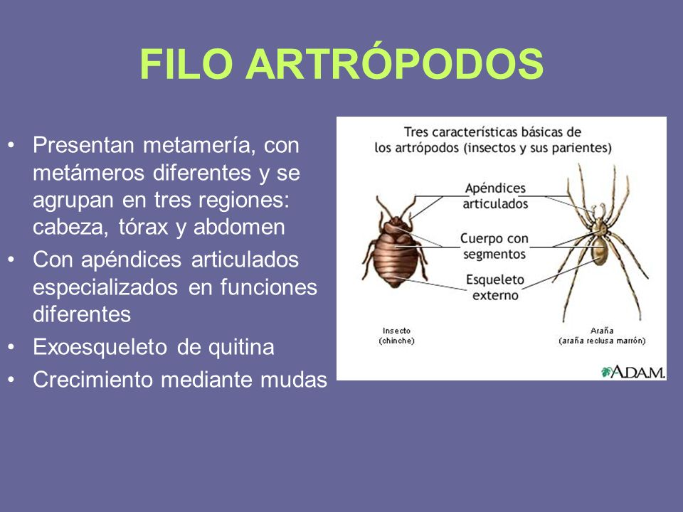 FILO ARTRÓPODOS Presentan metamería, con metámeros diferentes y se agrupan en tres regiones: cabeza, tórax y abdomen.
