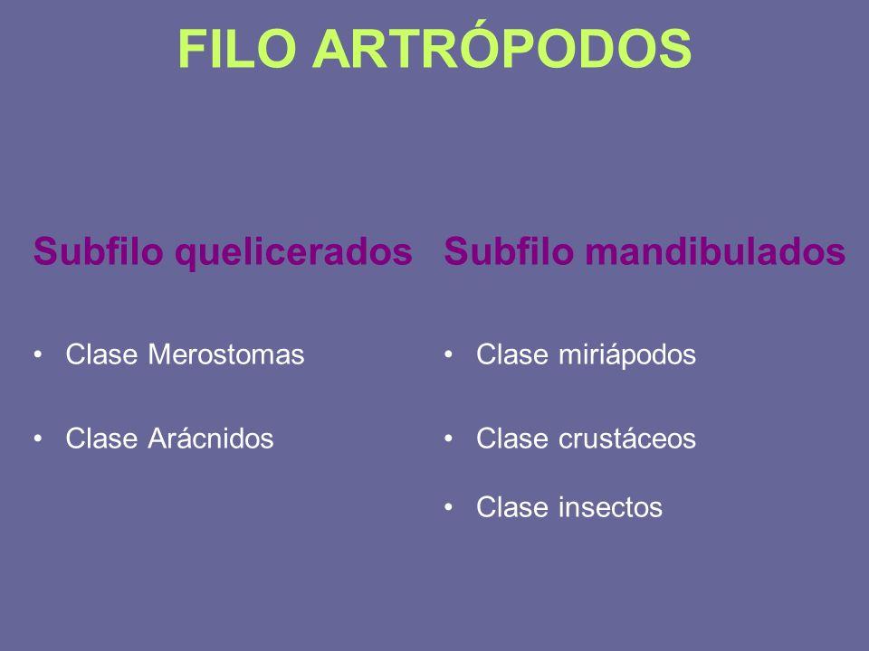 FILO ARTRÓPODOS Subfilo quelicerados Subfilo mandibulados