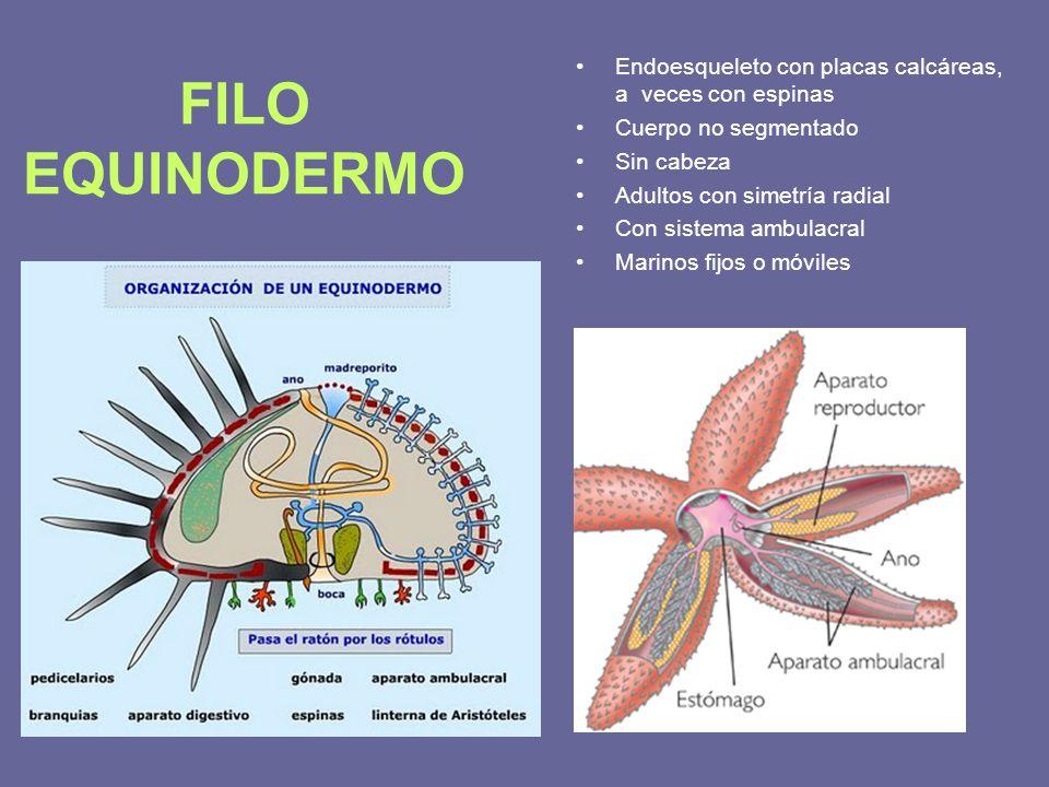 Endoesqueleto con placas calcáreas, a veces con espinas