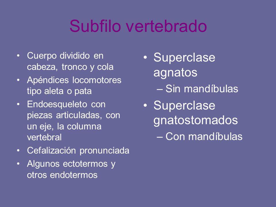 Subfilo vertebrado Superclase agnatos Superclase gnatostomados