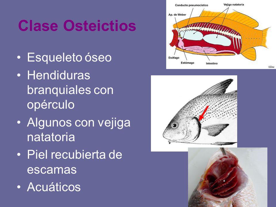 Clase Osteictios Esqueleto óseo Hendiduras branquiales con opérculo