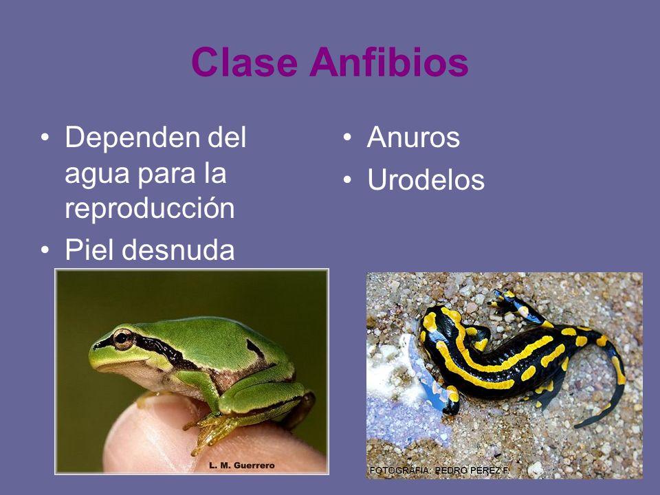Clase Anfibios Dependen del agua para la reproducción Piel desnuda