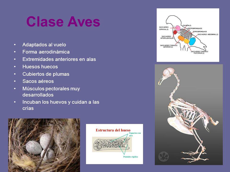 Clase Aves Adaptados al vuelo Forma aerodinámica