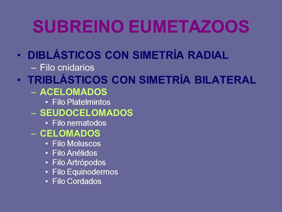SUBREINO EUMETAZOOS DIBLÁSTICOS CON SIMETRÍA RADIAL
